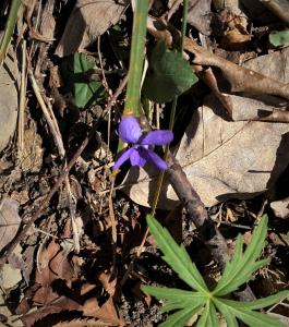 Opening Hike, violet